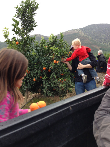Picking oranges from Rodrigo\'s orange trees